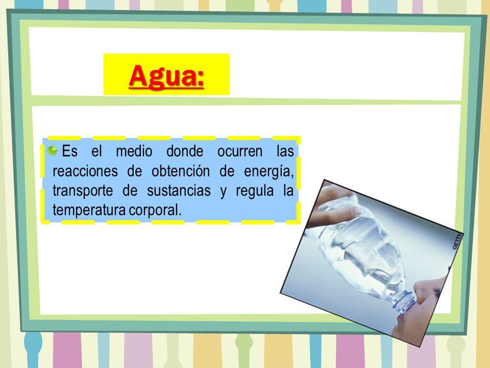 Es el medio donde ocurren las reacciones de obtención de energía, transporte de sustancias y regula la temperatura corporal. Agua: