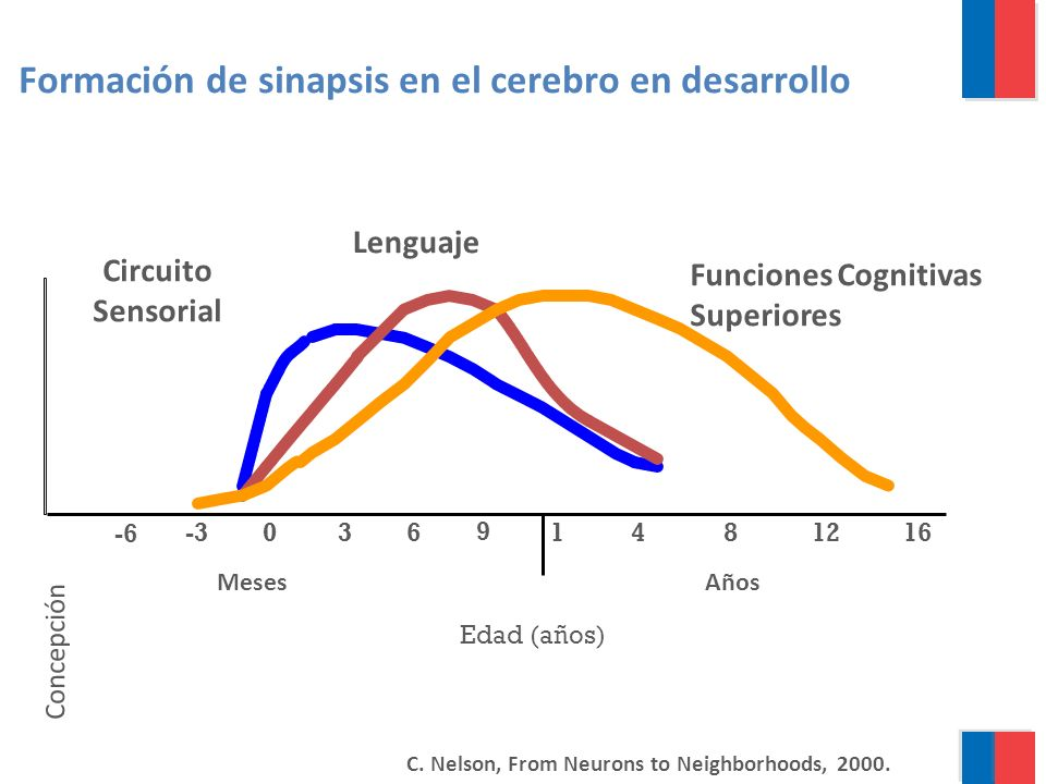 0 1 481216 Edad (años) Formación de sinapsis en el cerebro en desarrollo Lenguaje Funciones Cognitivas Superiores 3 6 9 -3 -6 MesesAños C.