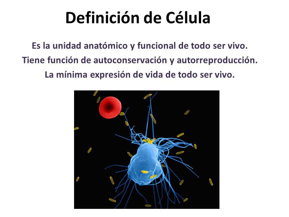 Definición de Célula Es la unidad anatómico y funcional de todo ser vivo. Tiene función de autoconservación y autorreproducción. La mínima expresión d