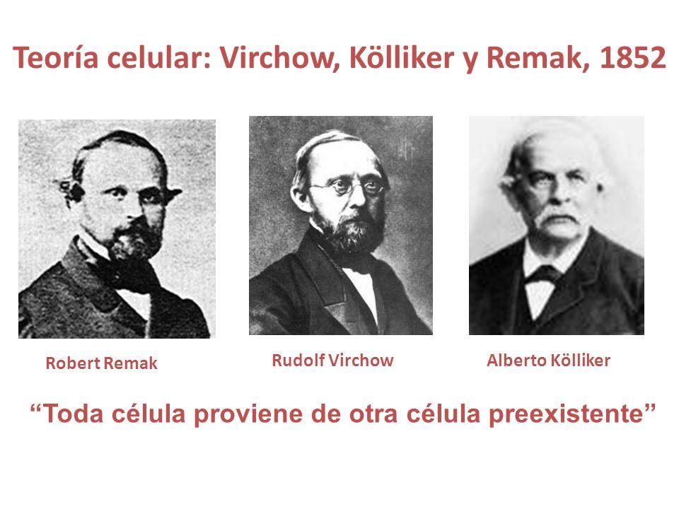 Teoría celular: Virchow, Kölliker y Remak, 1852 Robert Remak Rudolf VirchowAlberto Kölliker Toda célula proviene de otra célula preexistente