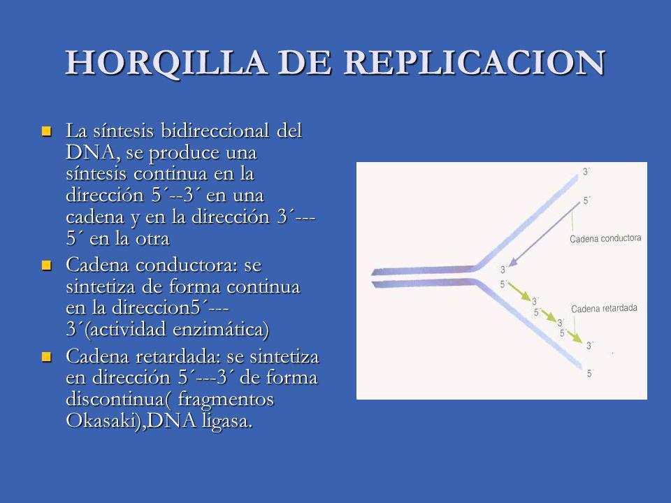 HORQILLA DE REPLICACION La síntesis bidireccional del DNA, se produce una síntesis continua en la dirección 5´--3´ en una cadena y en la dirección 3´--- 5´ en la otra La síntesis bidireccional del DNA, se produce una síntesis continua en la dirección 5´--3´ en una cadena y en la dirección 3´--- 5´ en la otra Cadena conductora: se sintetiza de forma continua en la direccion5´--- 3´(actividad enzimática) Cadena conductora: se sintetiza de forma continua en la direccion5´--- 3´(actividad enzimática) Cadena retardada: se sintetiza en dirección 5´---3´ de forma discontinua( fragmentos Okasaki),DNA ligasa.