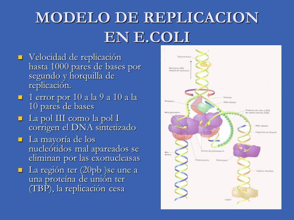 MODELO DE REPLICACION EN E.COLI Velocidad de replicación hasta 1000 pares de bases por segundo y horquilla de replicación. Velocidad de replicación ha