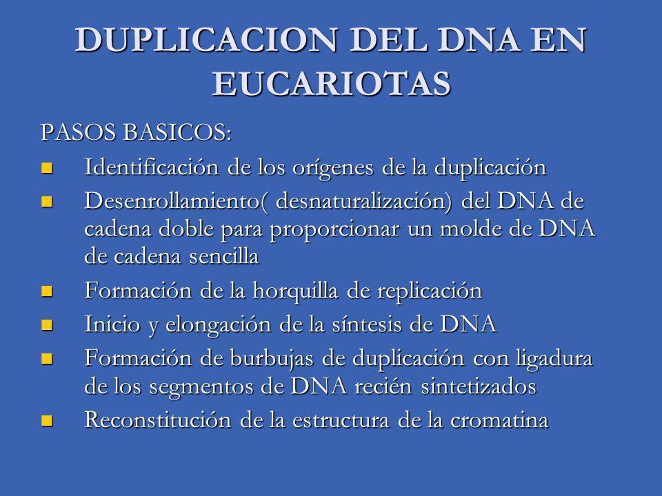 DUPLICACION DEL DNA EN EUCARIOTAS PASOS BASICOS: Identificación de los orígenes de la duplicación Identificación de los orígenes de la duplicación Desenrollamiento( desnaturalización) del DNA de cadena doble para proporcionar un molde de DNA de cadena sencilla Desenrollamiento( desnaturalización) del DNA de cadena doble para proporcionar un molde de DNA de cadena sencilla Formación de la horquilla de replicación Formación de la horquilla de replicación Inicio y elongación de la síntesis de DNA Inicio y elongación de la síntesis de DNA Formación de burbujas de duplicación con ligadura de los segmentos de DNA recién sintetizados Formación de burbujas de duplicación con ligadura de los segmentos de DNA recién sintetizados Reconstitución de la estructura de la cromatina Reconstitución de la estructura de la cromatina