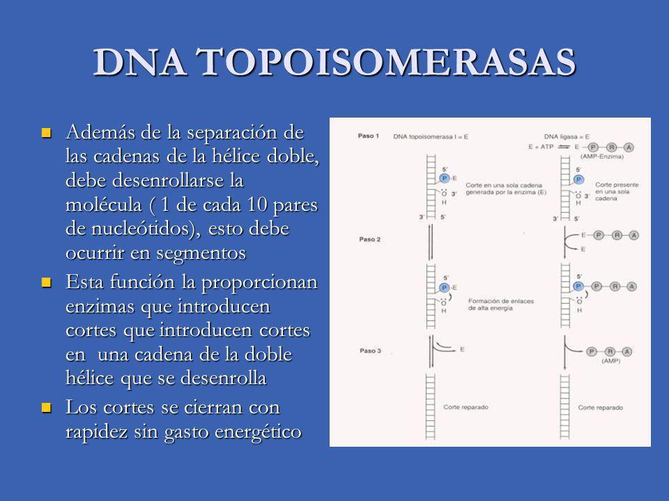 DNA TOPOISOMERASAS Además de la separación de las cadenas de la hélice doble, debe desenrollarse la molécula ( 1 de cada 10 pares de nucleótidos), est