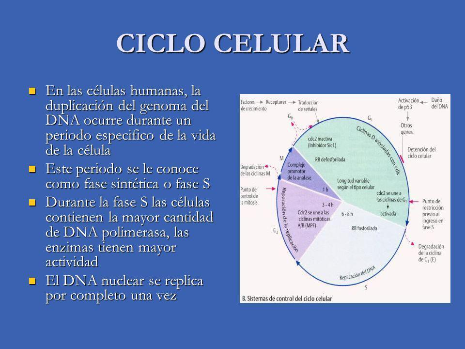 CICLO CELULAR En las células humanas, la duplicación del genoma del DNA ocurre durante un periodo especifico de la vida de la célula En las células humanas, la duplicación del genoma del DNA ocurre durante un periodo especifico de la vida de la célula Este periodo se le conoce como fase sintética o fase S Este periodo se le conoce como fase sintética o fase S Durante la fase S las células contienen la mayor cantidad de DNA polimerasa, las enzimas tienen mayor actividad Durante la fase S las células contienen la mayor cantidad de DNA polimerasa, las enzimas tienen mayor actividad El DNA nuclear se replica por completo una vez El DNA nuclear se replica por completo una vez