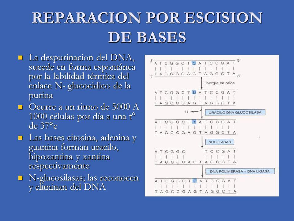 REPARACION POR ESCISION DE BASES La despurinacion del DNA, sucede en forma espontánea por la labilidad térmica del enlace N- glucocidico de la purina