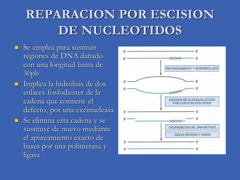 REPARACION POR ESCISION DE NUCLEOTIDOS Se emplea para sustituir regiones de DNA dañado con una longitud hasta de 30pb Se emplea para sustituir regiones de DNA dañado con una longitud hasta de 30pb Implica la hidrólisis de dos enlaces fosfodiester de la cadena que contiene el defecto, por una excinucleasa Implica la hidrólisis de dos enlaces fosfodiester de la cadena que contiene el defecto, por una excinucleasa Se elimina esta cadena y se sustituye de nuevo mediante el apareamiento exacto de bases por una polimerasa y ligasa Se elimina esta cadena y se sustituye de nuevo mediante el apareamiento exacto de bases por una polimerasa y ligasa