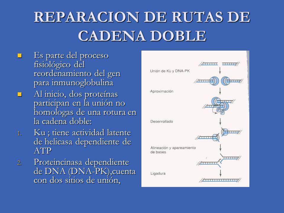 REPARACION DE RUTAS DE CADENA DOBLE Es parte del proceso fisiológico del reordenamiento del gen para inmunoglobulina Es parte del proceso fisiológico del reordenamiento del gen para inmunoglobulina Al inicio, dos proteínas participan en la unión no homologas de una rotura en la cadena doble: Al inicio, dos proteínas participan en la unión no homologas de una rotura en la cadena doble: 1.