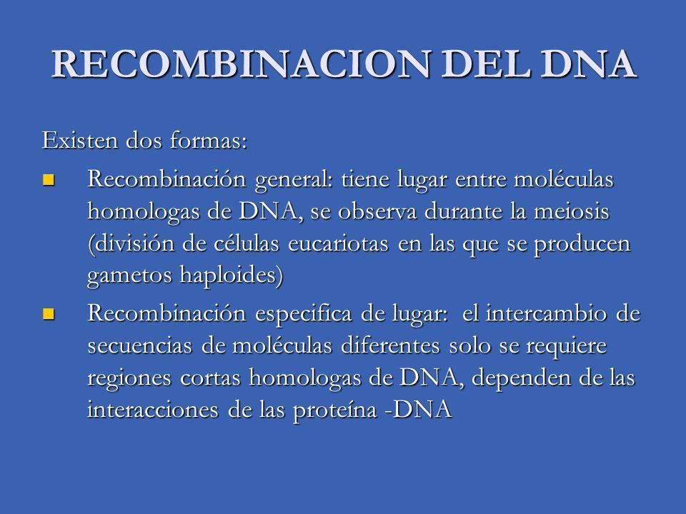 RECOMBINACION DEL DNA Existen dos formas: Recombinación general: tiene lugar entre moléculas homologas de DNA, se observa durante la meiosis (división
