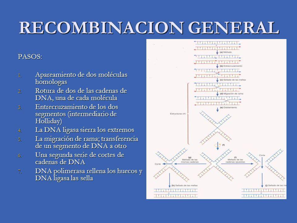 RECOMBINACION GENERAL PASOS: 1. Apareamiento de dos moléculas homologas 2. Rotura de dos de las cadenas de DNA, una de cada molécula 3. Entrecruzamien