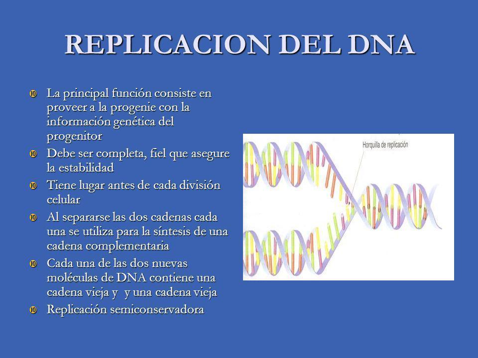 REPLICACION DEL DNA La principal función consiste en proveer a la progenie con la información genética del progenitor La principal función consiste en proveer a la progenie con la información genética del progenitor Debe ser completa, fiel que asegure la estabilidad Debe ser completa, fiel que asegure la estabilidad Tiene lugar antes de cada división celular Tiene lugar antes de cada división celular Al separarse las dos cadenas cada una se utiliza para la síntesis de una cadena complementaria Al separarse las dos cadenas cada una se utiliza para la síntesis de una cadena complementaria Cada una de las dos nuevas moléculas de DNA contiene una cadena vieja y y una cadena vieja Cada una de las dos nuevas moléculas de DNA contiene una cadena vieja y y una cadena vieja Replicación semiconservadora Replicación semiconservadora