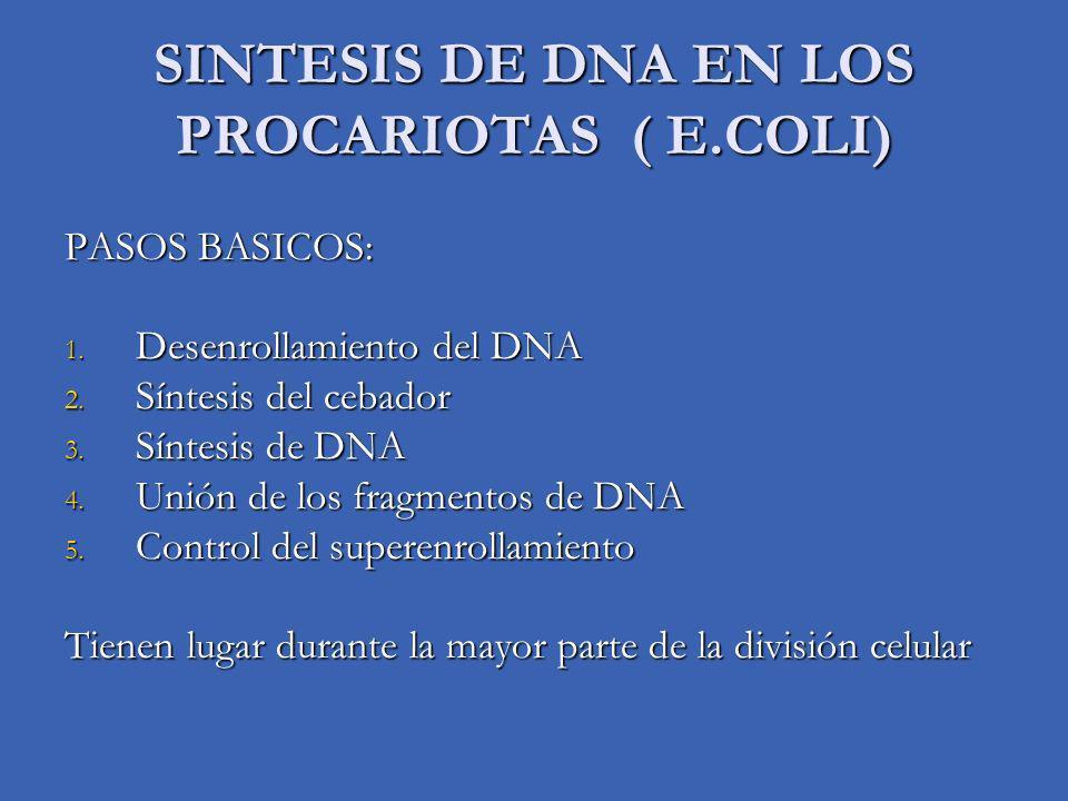 SINTESIS DE DNA EN LOS PROCARIOTAS ( E.COLI) PASOS BASICOS: 1. Desenrollamiento del DNA 2. Síntesis del cebador 3. Síntesis de DNA 4. Unión de los fra