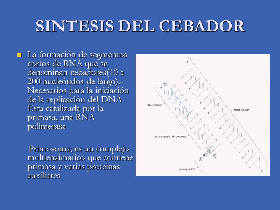 SINTESIS DEL CEBADOR La formación de segmentos cortos de RNA que se denominan cebadores(10 a 200 nucleótidos de largo).- Necesarios para la iniciación de la replicación del DNA Esta catalizada por la primasa, una RNA polimerasa La formación de segmentos cortos de RNA que se denominan cebadores(10 a 200 nucleótidos de largo).- Necesarios para la iniciación de la replicación del DNA Esta catalizada por la primasa, una RNA polimerasa Primosoma; es un complejo multienzimatico que contiene primasa y varias proteínas auxiliares Primosoma; es un complejo multienzimatico que contiene primasa y varias proteínas auxiliares