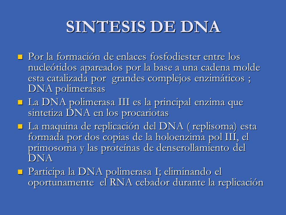 DNA TOPOISOMERASAS Además de la separación de las cadenas de la hélice doble, debe desenrollarse la molécula ( 1 de cada 10 pares de nucleótidos), esto debe ocurrir en segmentos Además de la separación de las cadenas de la hélice doble, debe desenrollarse la molécula ( 1 de cada 10 pares de nucleótidos), esto debe ocurrir en segmentos Esta función la proporcionan enzimas que introducen cortes que introducen cortes en una cadena de la doble hélice que se desenrolla Esta función la proporcionan enzimas que introducen cortes que introducen cortes en una cadena de la doble hélice que se desenrolla Los cortes se cierran con rapidez sin gasto energético Los cortes se cierran con rapidez sin gasto energético