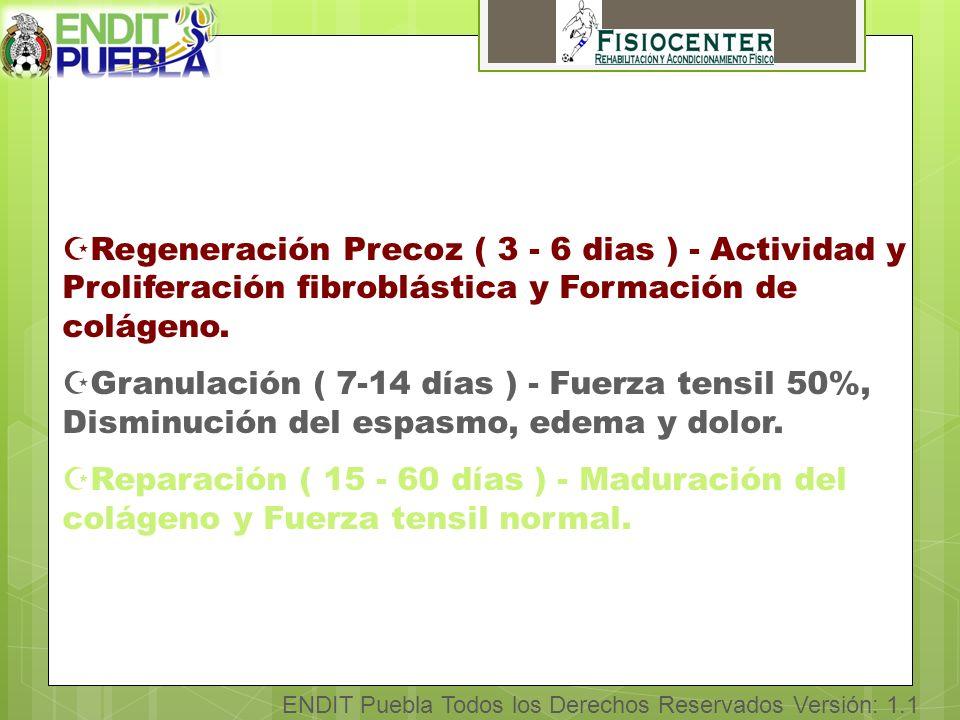 ENDIT Puebla Todos los Derechos Reservados Versión: 1.1 ZRegeneración Precoz ( 3 - 6 dias ) - Actividad y Proliferación fibroblástica y Formación de colágeno.