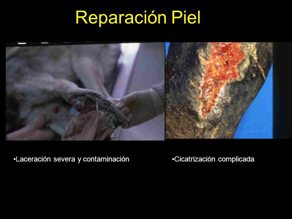 Reparación Piel Excesivo tejido de granulación Tejido de granulación en equinos
