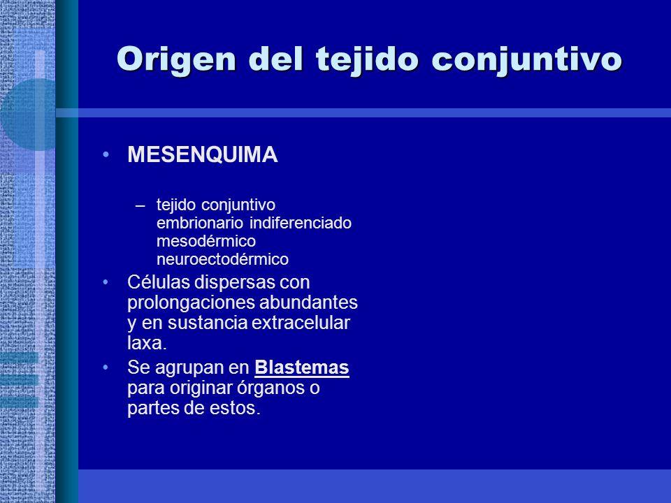 Origen del tejido conjuntivo MESENQUIMA –tejido conjuntivo embrionario indiferenciado mesodérmico neuroectodérmico Células dispersas con prolongaciones abundantes y en sustancia extracelular laxa.