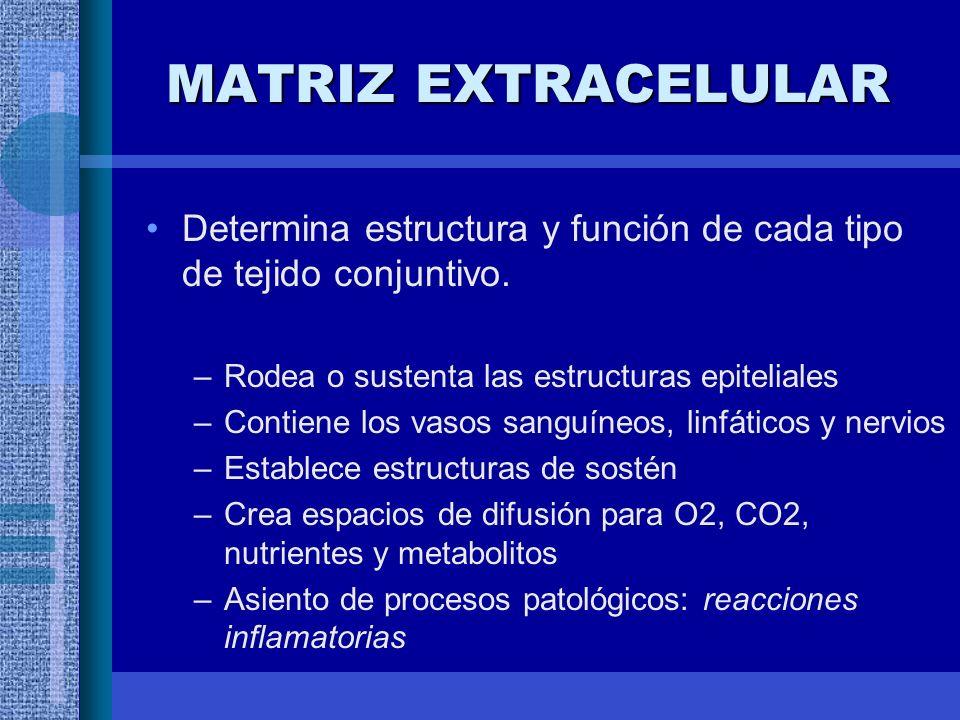 MATRIZ EXTRACELULAR Determina estructura y función de cada tipo de tejido conjuntivo.