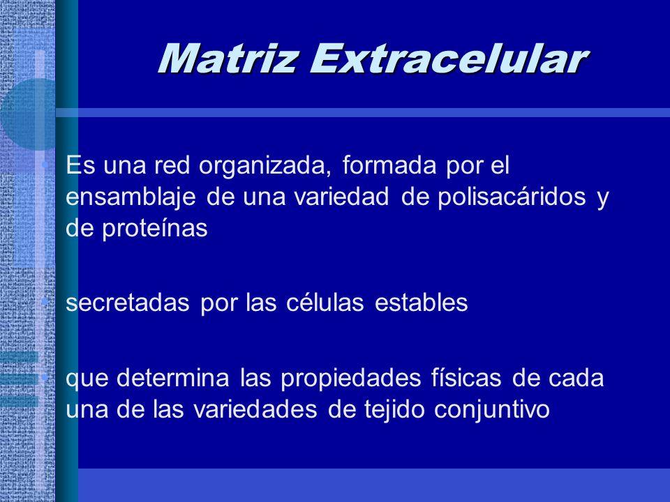 Matriz Extracelular Es una red organizada, formada por el ensamblaje de una variedad de polisacáridos y de proteínas secretadas por las células estables que determina las propiedades físicas de cada una de las variedades de tejido conjuntivo