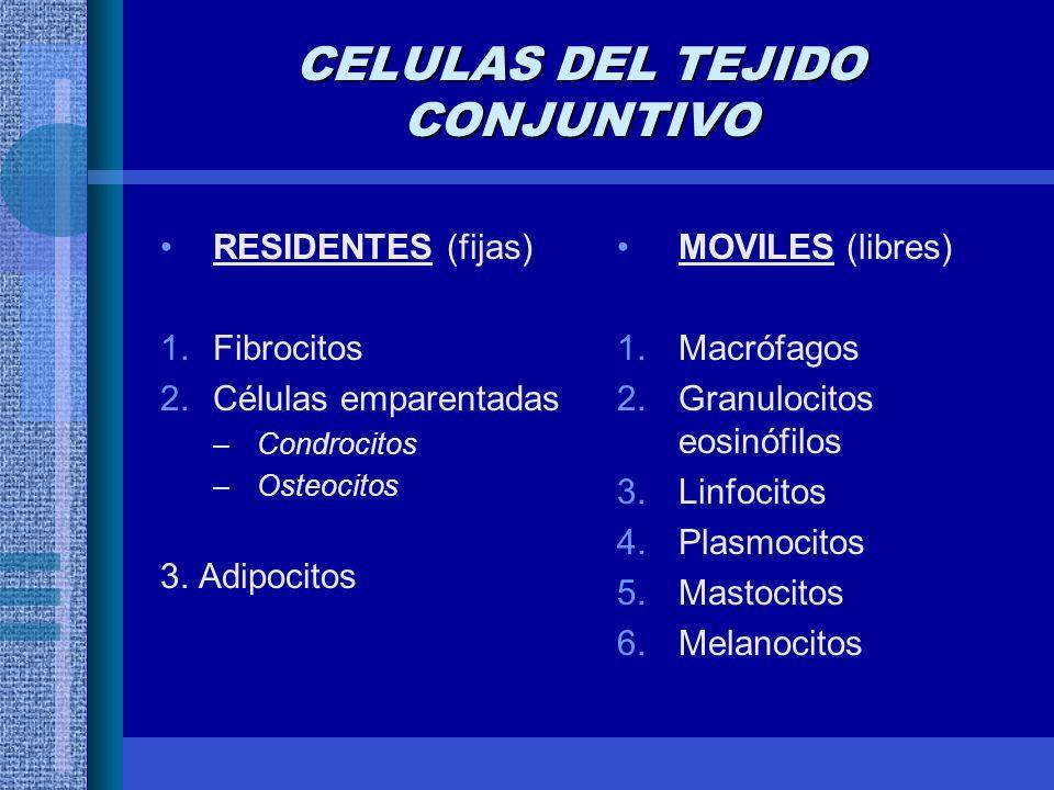 CELULAS DEL TEJIDO CONJUNTIVO RESIDENTES (fijas) 1.Fibrocitos 2.Células emparentadas –Condrocitos –Osteocitos 3.