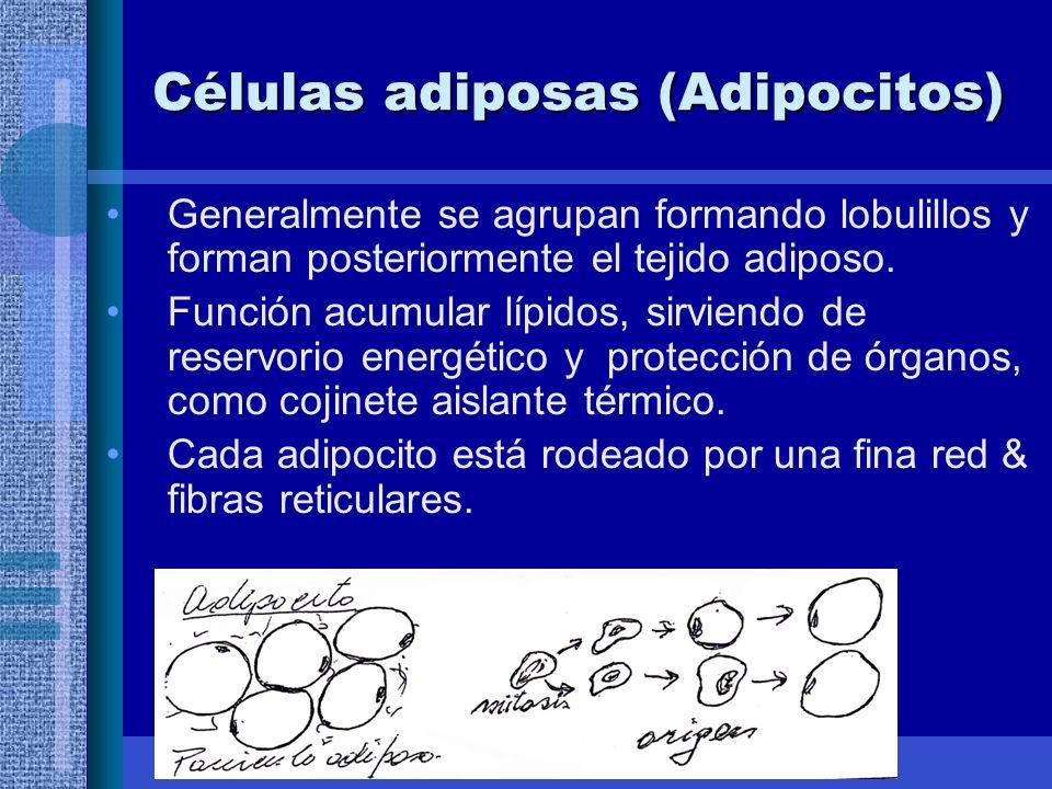 Células adiposas (Adipocitos) Generalmente se agrupan formando lobulillos y forman posteriormente el tejido adiposo.
