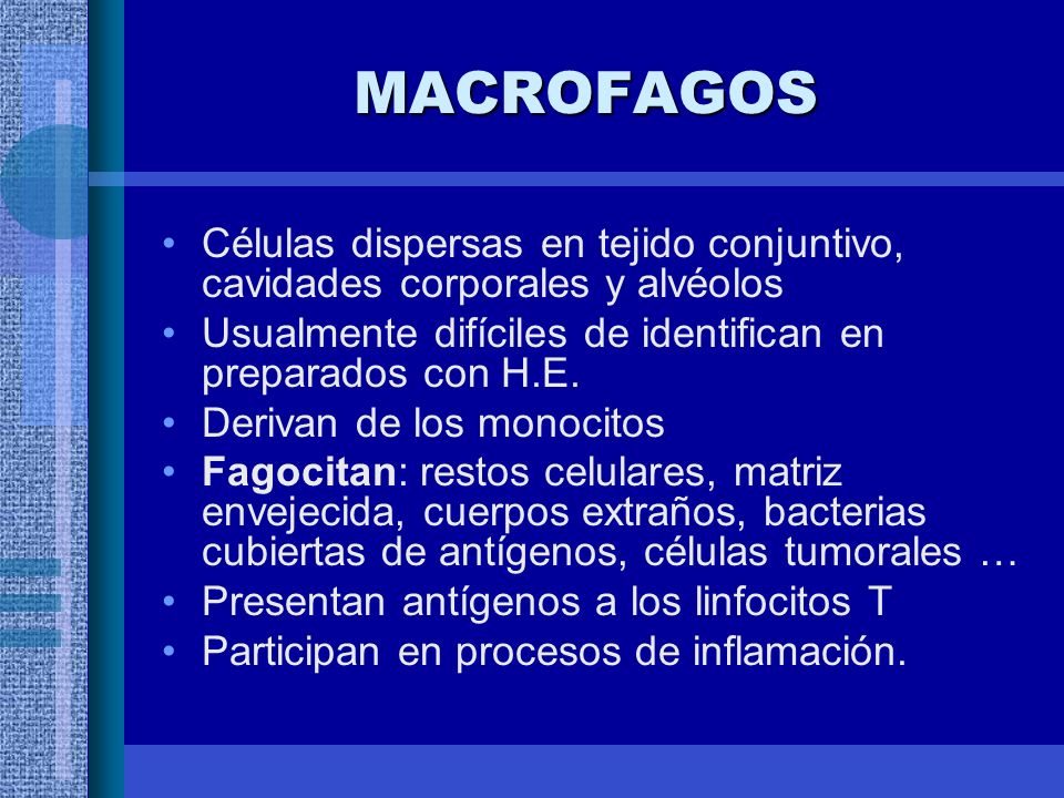 MACROFAGOS Células dispersas en tejido conjuntivo, cavidades corporales y alvéolos Usualmente difíciles de identifican en preparados con H.E.