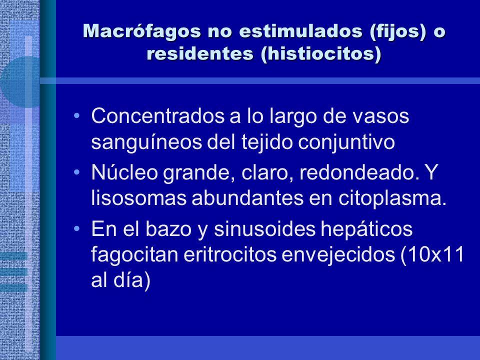 Macrófagos no estimulados (fijos) o residentes (histiocitos) Concentrados a lo largo de vasos sanguíneos del tejido conjuntivo Núcleo grande, claro, redondeado.