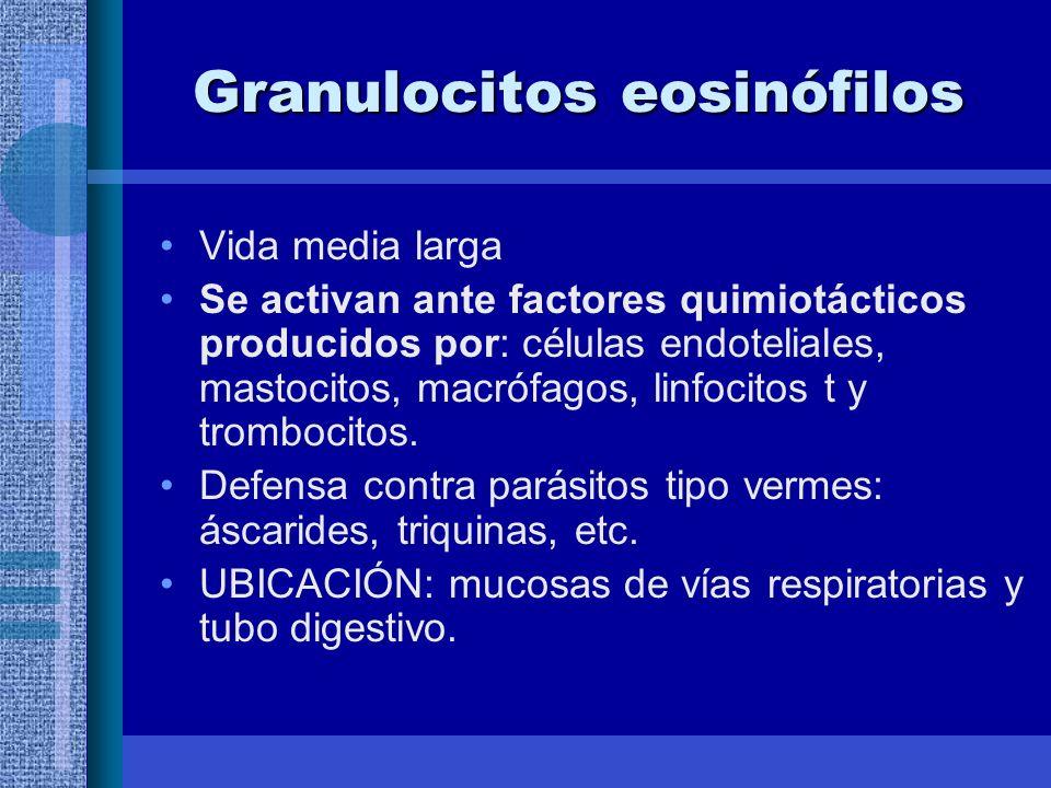 Granulocitos eosinófilos Vida media larga Se activan ante factores quimiotácticos producidos por: células endoteliales, mastocitos, macrófagos, linfocitos t y trombocitos.
