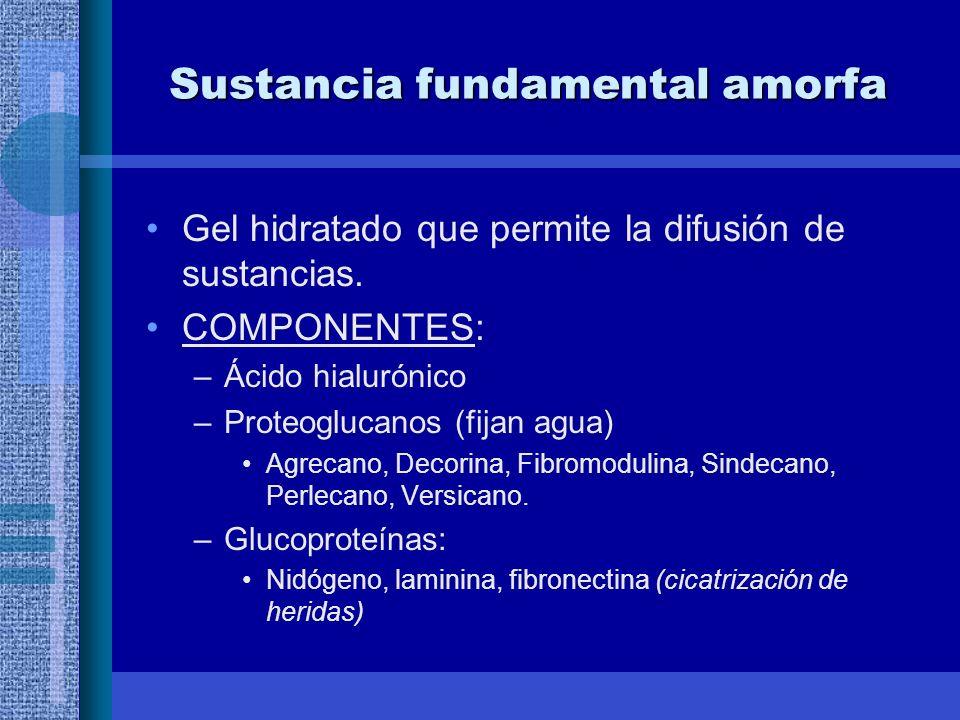 Sustancia fundamental amorfa Gel hidratado que permite la difusión de sustancias.