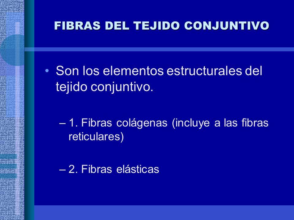FIBRAS DEL TEJIDO CONJUNTIVO Son los elementos estructurales del tejido conjuntivo.