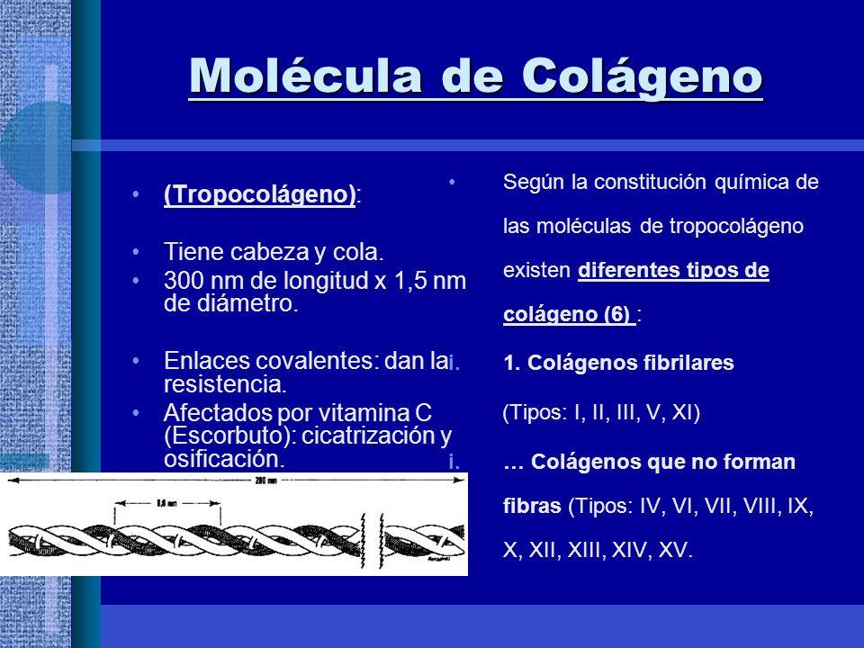 Molécula de Colágeno (Tropocolágeno): Tiene cabeza y cola.