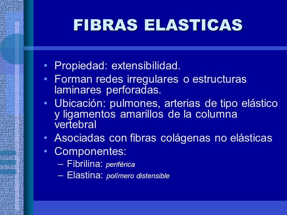 FIBRAS ELASTICAS Propiedad: extensibilidad.