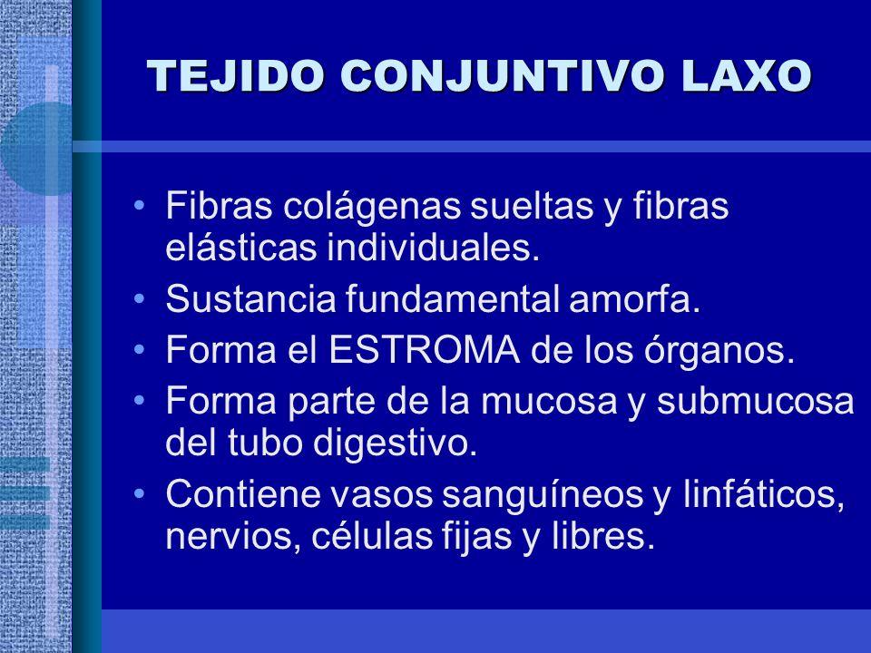 TEJIDO CONJUNTIVO LAXO Fibras colágenas sueltas y fibras elásticas individuales.