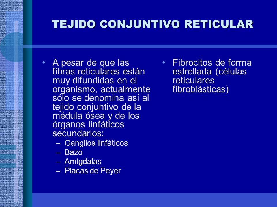 TEJIDO CONJUNTIVO RETICULAR A pesar de que las fibras reticulares están muy difundidas en el organismo, actualmente sólo se denomina así al tejido conjuntivo de la médula ósea y de los órganos linfáticos secundarios: –Ganglios linfáticos –Bazo –Amígdalas –Placas de Peyer Fibrocitos de forma estrellada (células reticulares fibroblásticas)