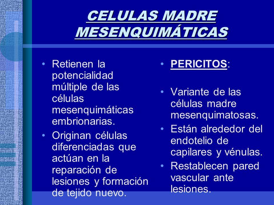 CELULAS MADRE MESENQUIMÁTICAS Retienen la potencialidad múltiple de las células mesenquimáticas embrionarias.