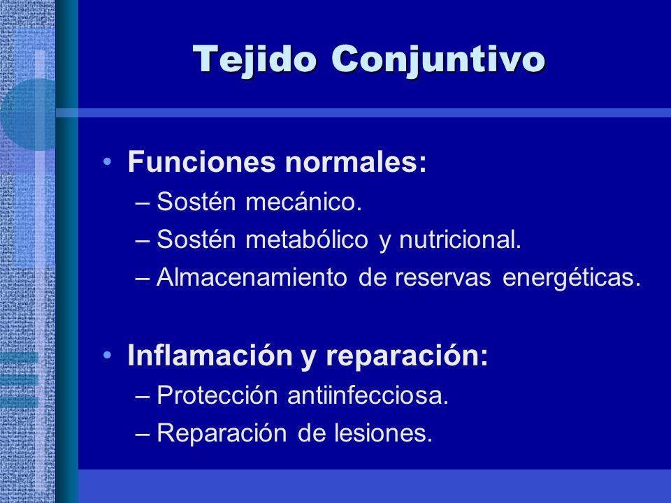 Tejido Conjuntivo Funciones normales: –Sostén mecánico.