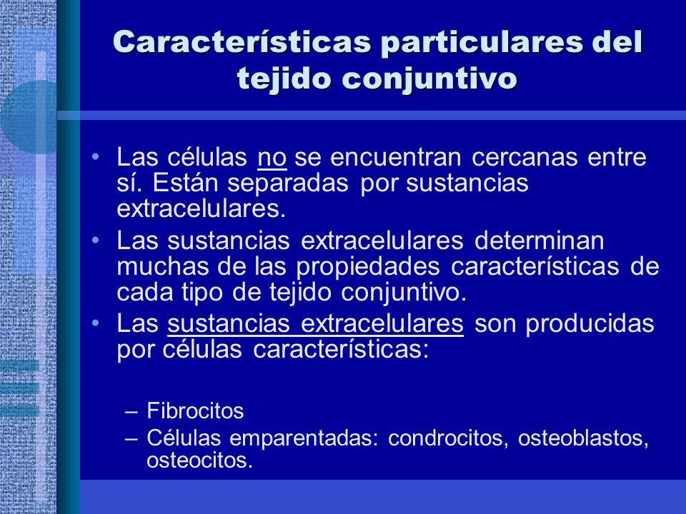 Características particulares del tejido conjuntivo Las células no se encuentran cercanas entre sí.