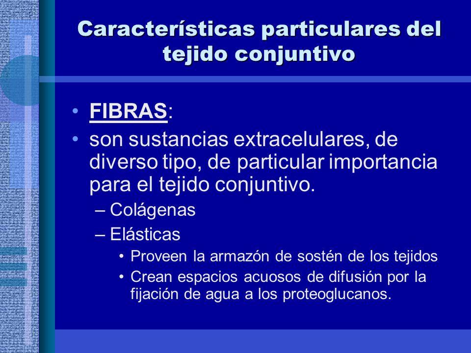 Características particulares del tejido conjuntivo FIBRAS: son sustancias extracelulares, de diverso tipo, de particular importancia para el tejido conjuntivo.