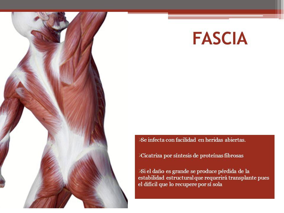 FASCIA Se infecta con facilidad en heridas abiertas.