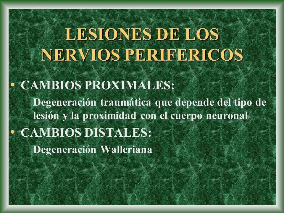 LESIONES DE LOS NERVIOS PERIFERICOS CAMBIOS PROXIMALES: Degeneración traumática que depende del tipo de lesión y la proximidad con el cuerpo neuronal
