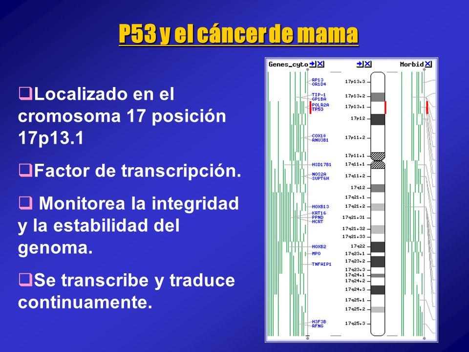P53 y el cáncer de mama Localizado en el cromosoma 17 posición 17p13.1 Factor de transcripción. Monitorea la integridad y la estabilidad del genoma. S