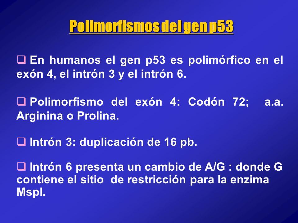 En humanos el gen p53 es polimórfico en el exón 4, el intrón 3 y el intrón 6. Polimorfismo del exón 4: Codón 72; a.a. Arginina o Prolina. Intrón 3: du