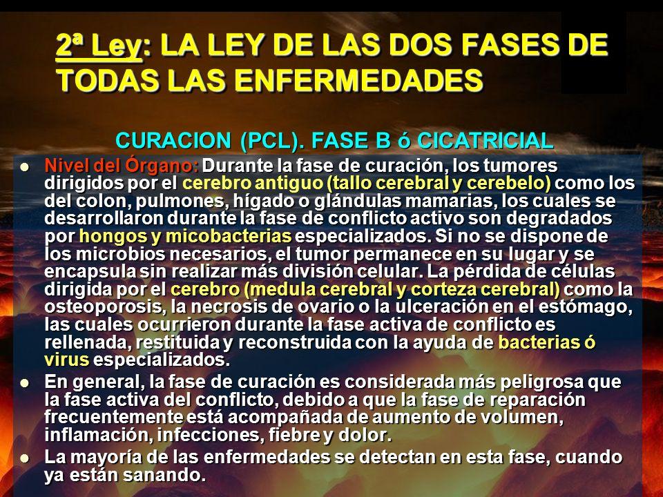 2ª Ley: LA LEY DE LAS DOS FASES DE TODAS LAS ENFERMEDADES Nivel del Órgano: Durante la fase de curación, los tumores dirigidos por el (tallo cerebral