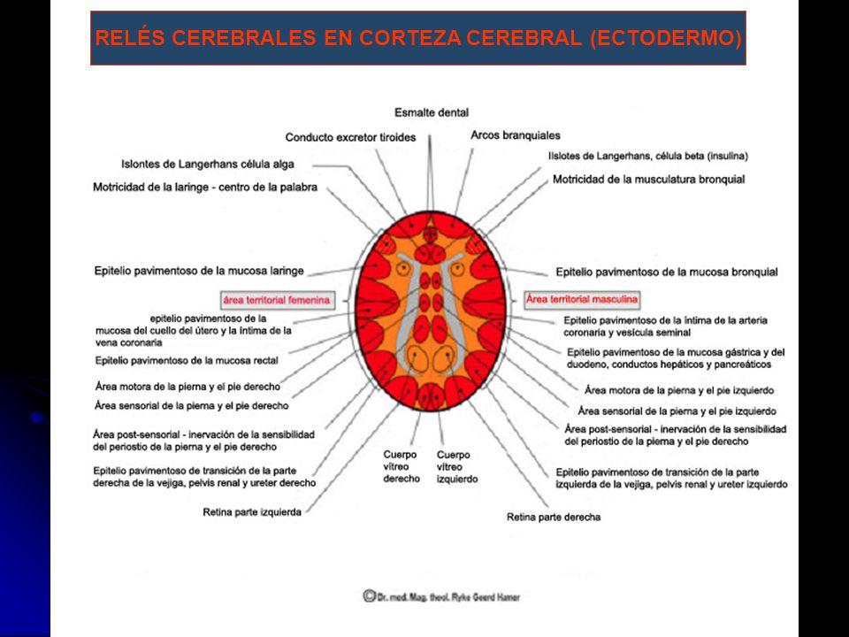 RELÉS CEREBRALES EN CORTEZA CEREBRAL (ECTODERMO)