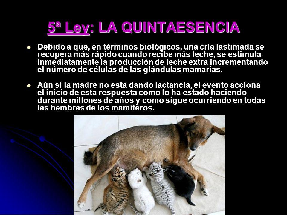5ª Ley: LA QUINTAESENCIA Debido a que, en términos biológicos, una cría lastimada se recupera más rápido cuando recibe más leche, se estimula inmediatamente la producción de leche extra incrementando el número de células de las glándulas mamarias.