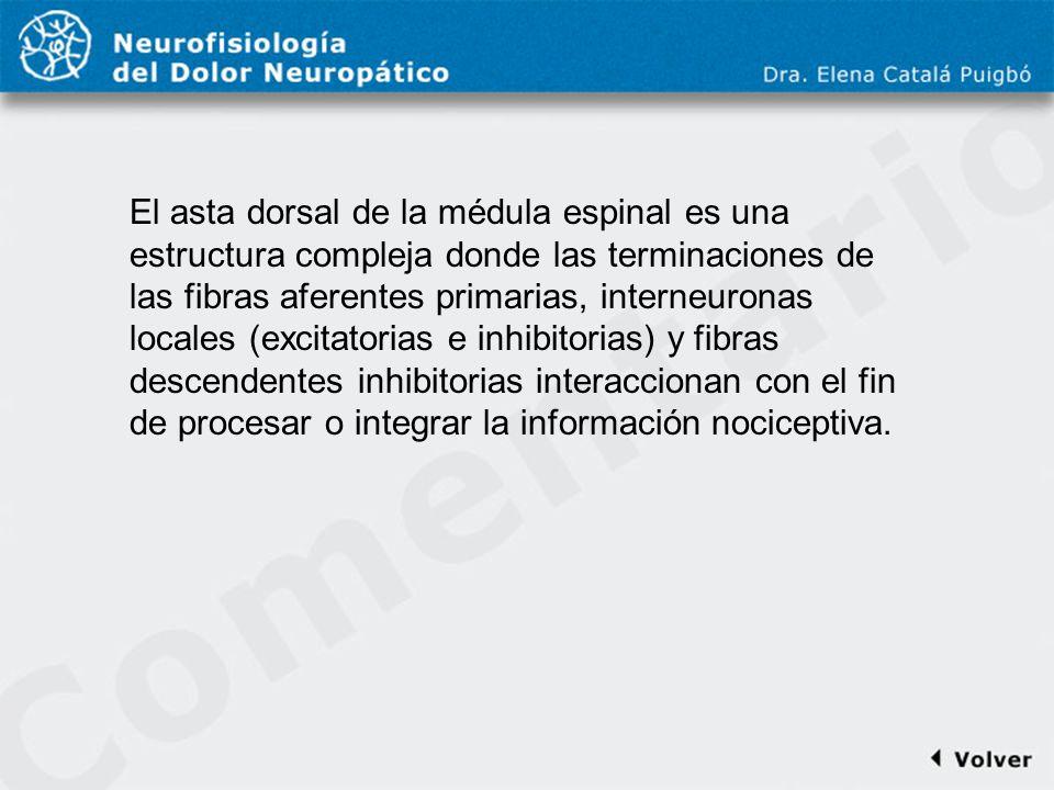 Comentario a diapo15 El asta dorsal de la médula espinal es una estructura compleja donde las terminaciones de las fibras aferentes primarias, interne