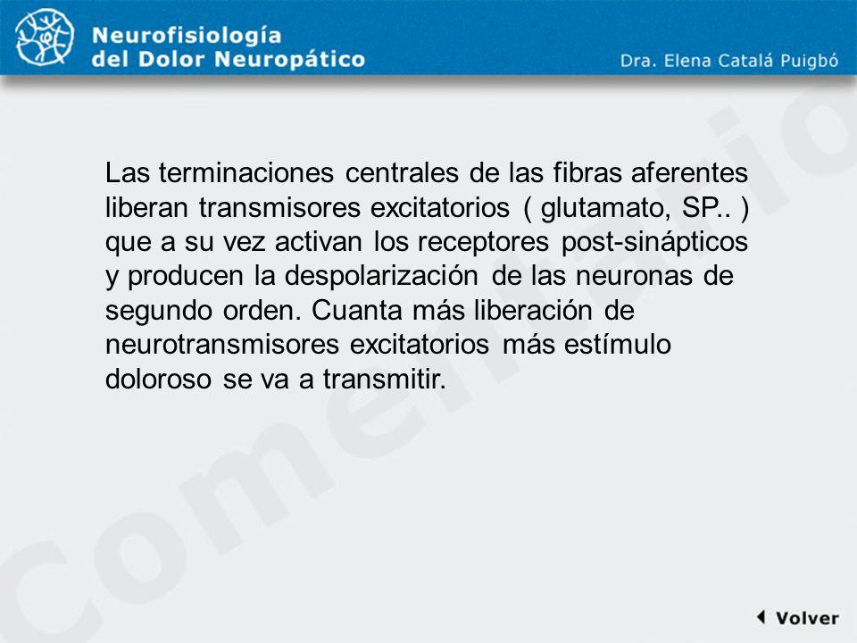 Comentario a diapo16 Las terminaciones centrales de las fibras aferentes liberan transmisores excitatorios ( glutamato, SP.. ) que a su vez activan lo