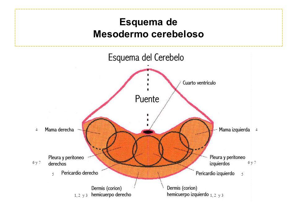 Esquema de Mesodermo cerebeloso 1, 2 y 3 44 55 6 y 7