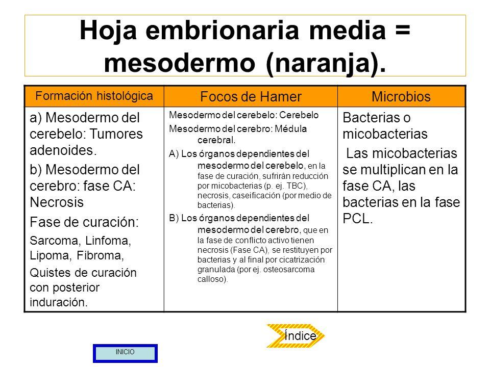Hoja embrionaria media = mesodermo (naranja). Formación histológica Focos de HamerMicrobios a) Mesodermo del cerebelo: Tumores adenoides. b) Mesodermo
