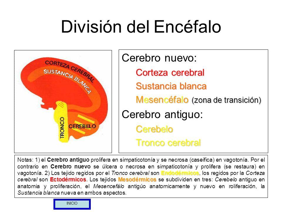 División del Encéfalo Cerebro nuevo: Corteza cerebral Sustancia blanca Mesencéfalo (zona de transición) Cerebro antiguo: Cerebelo Tronco cerebral Endo